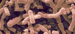 Bifidobacterium bifidum